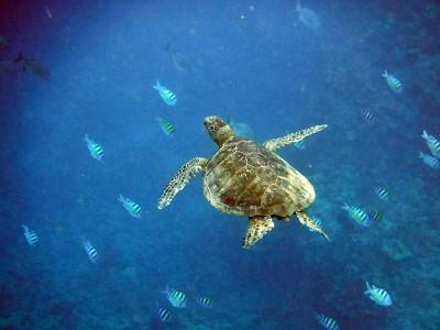 Beyond Kona Banner Hawaii Turtle